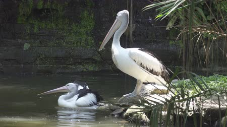 spot billed pelican : Reat white pelican and the pelican family at the zoo
