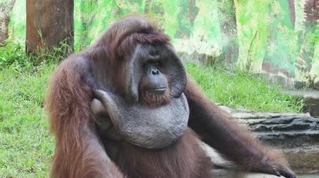 endangered species : Big orangutan on a green grass