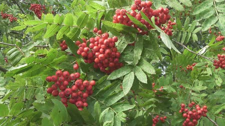 sorbus : Bush of red ripe mountain ash in the wind Stock Footage