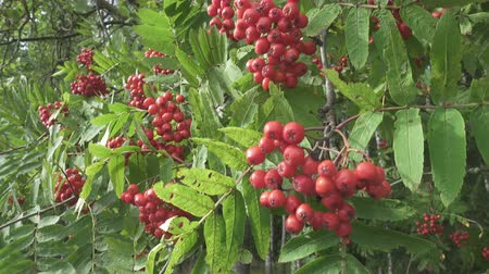 üvez ağacı : Bush of red ripe mountain ash in the wind. Full frame footage 4k Stok Video