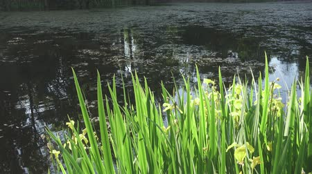 bavaria flag : Iris pseudacorus yellow flag, yellow iris, water flag, lever is a species in the genus Iris, of the family Iridaceae on the bank of the lake in sunny day