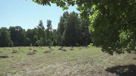 тюк : camera moves on an edge of the wood removing through oak leaves a field with haystacks in summer sunny day