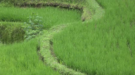 irrigação : footage over rice terrace and palm trees of mountain and house of farmers . Bali. Indonesia