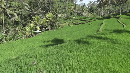 gênero alimentício : footage over rice terrace and palm trees of mountain and house of farmers . Bali. Indonesia