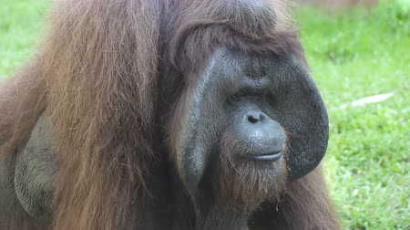ボルネオ島 : Big orangutan on a green grass