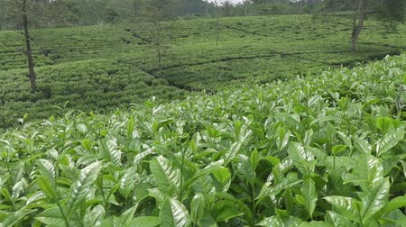 кусты : Tea plantation in Wonosobo. Indonesia, Java