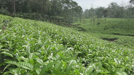 ブッシュ : Tea plantation in Wonosobo. Indonesia, Java