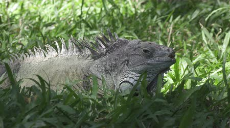 iguana : Big green iguana on a green grass Stock Footage
