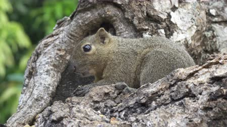 cauda : The common treeshrew eats nuts sitting on a tree