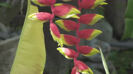 Parakeet flower Heliconia psittacorum. Plants and Flowers and other flowers in a tropical garden