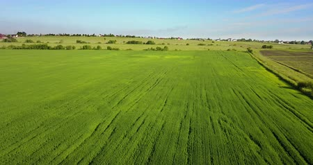 The drone flies along the field with green ears of wheat to summer sunny day against the background of the blue sky with white clouds