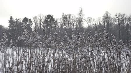 The coast of the forest lake with canes in the foreground in winter sunny day,It is snowing