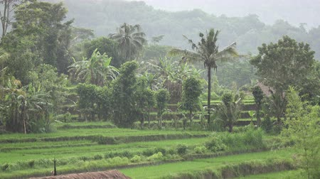 Rice terrace and palm trees. Bali. Indonesia