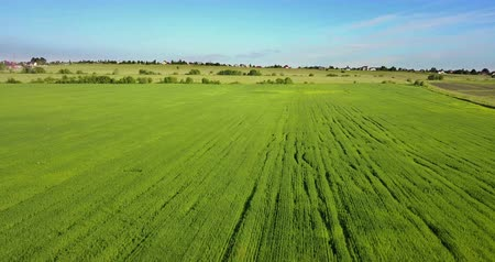 Aerial Drone Shot over Large Green Wheat Field Wideo