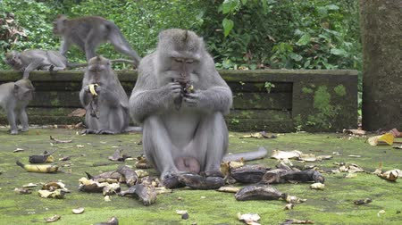 The crab-eating macaque ,Macaca fascicularis, also known as the long-tailed macaque,Sangeh Monkey Forest Bali Filmati Stock