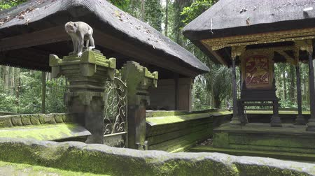 The crab-eating macaque ,Macaca fascicularis, also known as the long-tailed macaque,Sangeh Monkey Forest Bali Wideo