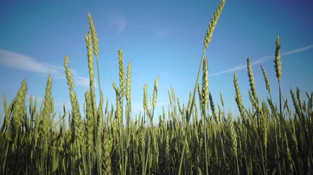 camera moves with ripe ears of wheat and a rye against the background of the blue sky with a bright sun across the field Filmati Stock