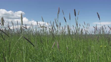 сорняки : The strong wind inclines Timothy-grass Phleum pratense in field to summer sunny day