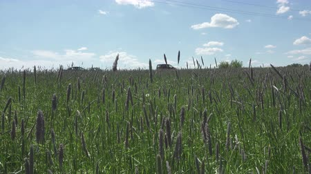 gwóżdź : The strong wind inclines Timothy-grass Phleum pratense in field to summer sunny day