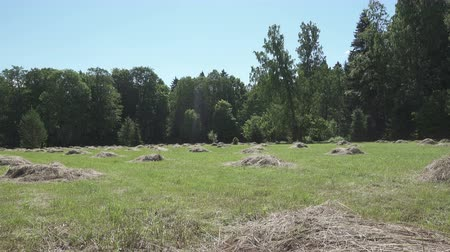 rotoballe : camera moves on an edge of the wood removing through oak leaves a field with haystacks in summer sunny day