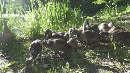 patinho : Ducks with adult ducklings in a grass on the bank of the lake in summer sunny day
