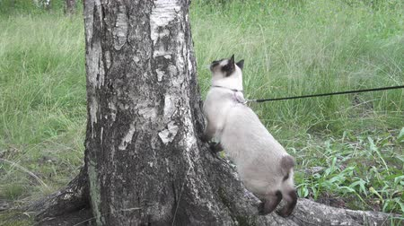 siamese : Young cat, kitten, Siam oriental group, Mekong bobtail walks on a lead in a green grass Stock Footage