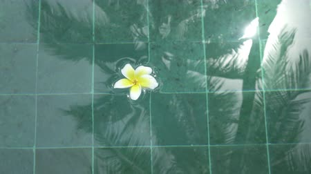 affect : Flower white Plumeria franzhipan floats in pool water Palm trees affect in pool water in summer sunny day the tropical resort Stock Footage