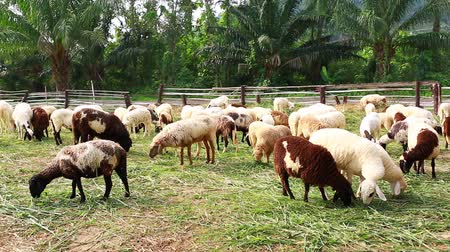 mucca : sheep on green grass are eating grass in farm, a woolly sheep in a green field, white and brown sheep crowd in the classic farm, green mountain background, Thailand.