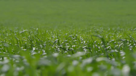 színes kép : Long Shot Low Dof The Green Grass Swaying in the Wind