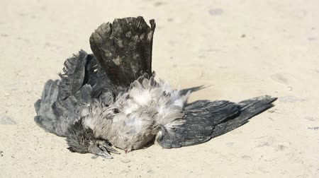 sucho : Dead Crow. Wind waves feathers.