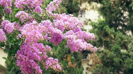 ornamentální : Lagerstroemia indica flower is a large bouquet of purple hanging from the tree. Lagerstroemia indica from spring with natural sunlight. 4k, stadikam