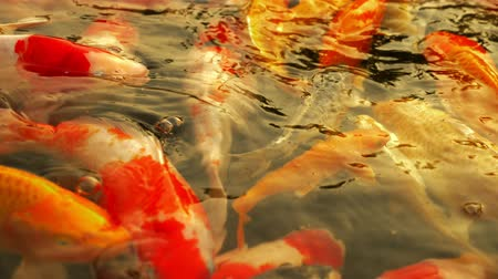 goldfish : Beautiful colorful fish mirror carp swim in the clear water. Stock Footage