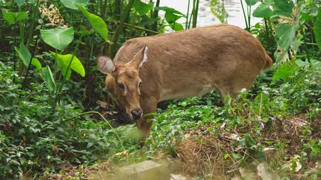 子鹿 : Roe eats grass in the forest, capreolus. Wild roe deer in nature. close-up 動画素材