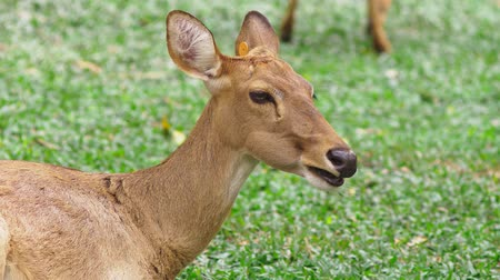 лань : Roe eats grass in the forest, capreolus. Wild roe deer in nature. close-up Стоковые видеозаписи