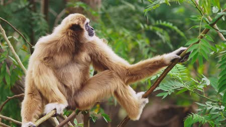 primaz : close-up. female White-cheeked gibbon. Hylobates leucogenys. sits on a tree in the wild