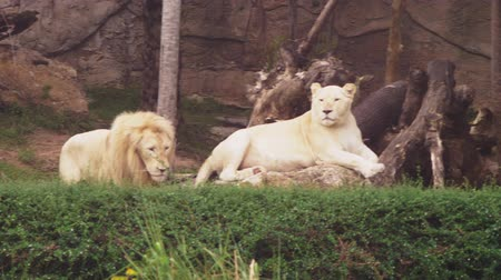 yaban kedisi : Male and female white lion.The white lions are a colour mutation of the Transvaal lion , Panthera leo krugeri, also known as the Southeast African or Kalahari lion. Stok Video