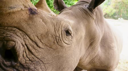rebuliço : Close-up of the rhinoceros muzzle, which looks into the camera, small eyes and big ears. Stock Footage