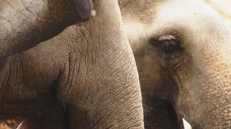 marfim : close-up, an elephant at the zoo is eating green grass