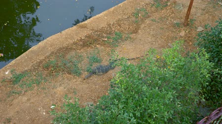 живая природа : Central Asian lizard, sleeping on the banks of the river, the canal in the city center Стоковые видеозаписи