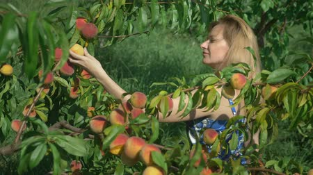 plucks : happy blonde girl plucks fresh peach from peach tree in the garden.