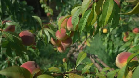 green peach : ripe juicy peaches on a branch among green leaves. Stock Footage