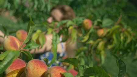plucks : blurred background. happy blonde girl plucks fresh peach from peach tree in the garden. Stock Footage
