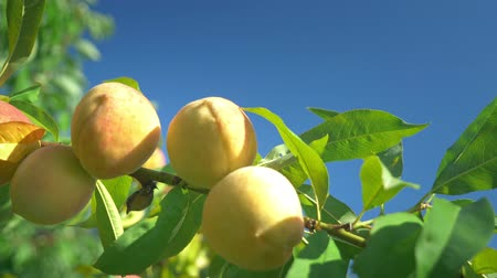 őszibarack : close-up. ripe juicy peaches on a branch against the backdrop of a clear blue sky