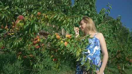 cheirando : A happy blond girl is picking a fresh peach from a peach tree in the garden and sniffing it.