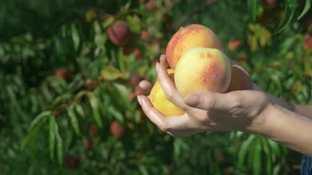 őszibarack : close-up. Womens hands hold an armful of fresh peaches in a peach orchard against the background of fruit-bearing trees Stock mozgókép