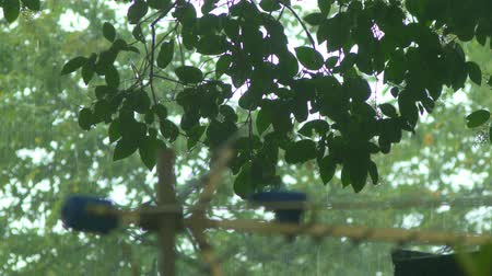 torrential rain : detail of a tree on a rainy day. Close-up of a downpour on a background of tree foliage. Stock Footage