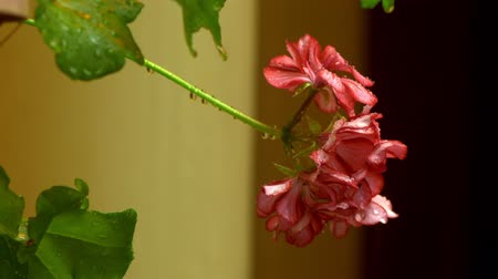 fotoszintézis : close-up. raindrops on bright red pink buds of blooming pelargonium. geranium flower in the rain.