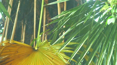 torrente : detail of a palm tree on a rainy day. Close-up of a shower on a background of palm foliage Vídeos
