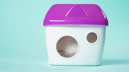sterrenbeeld : domestic white rat in a beautiful little house on a blue background. animal symbol of 2020, copy space Stockvideo