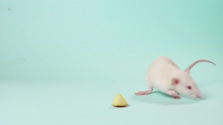 зодиак : female hands release a cute little white rat on a blue background. copy space.